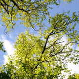 Beautiful Spring forest. Young green leaves of the oak trees against bright spring blue sky and sun rises. Stock Photo