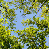 Beautiful Spring forest. Young green leaves of the oak trees against bright spring blue sky and sun rises. Royalty Free Stock Photo