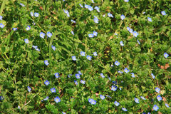 Forget-me-nots Royalty Free Stock Photography