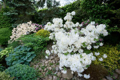 Beautiful spring garden design with rhododendron Royalty Free Stock Photography