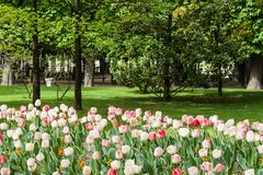 A beautiful spring garden with pink and white tulip in Paris. A beautiful spring garden with pink and white tulips, a green lawn and some tall trees with bright stock photos