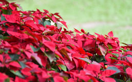 Beautiful spring garden with Poinsettia flower red. Blooming flowers stock photos