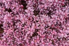 Beautiful spring garden purple flower. Beautiful spring garden purple flower background Royalty Free Stock Photos