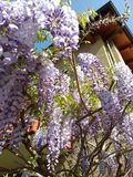 beautiful spring garden with wisteria Tuscany Italy  Royalty Free Stock Photography