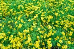 Beautiful spring garden yellow flower. Beautiful spring garden yellow flower background Royalty Free Stock Image