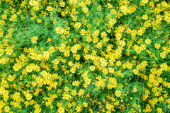 Beautiful spring garden yellow flower. Stock Photography