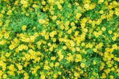Beautiful spring garden yellow flower. Beautiful spring garden yellow flower background Stock Photography