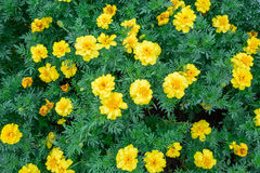 Beautiful spring garden yellow flower. Stock Image