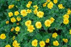 Beautiful spring garden yellow flower. Beautiful spring garden yellow flower background Stock Image