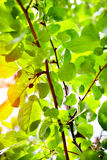Beautiful spring green apple leaves. Glowing in sunlight royalty free stock image