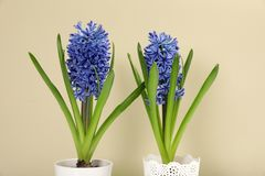 Beautiful spring hyacinth flowers. On color background royalty free stock image