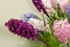 Beautiful spring hyacinth flowers on color background. Closeup stock image