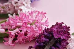Beautiful spring hyacinth flowers on color background. Closeup royalty free stock photography