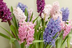 Beautiful spring hyacinth flowers with green leaves. Closeup royalty free stock photography