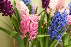 Beautiful spring hyacinth flowers with green leaves. Closeup stock photo
