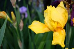 Beautiful spring Iris bloom on a sunny day on a spring royalty free stock photography