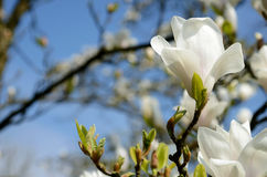 Beautiful spring landscape with magnolia flowers against the sky Royalty Free Stock Images