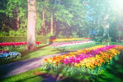 Beautiful spring landscape with multicolor tulips stock photo