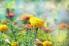Beautiful spring landscape, yellow heads of flowers of marigolds on natural green background with selective focus. stock photos