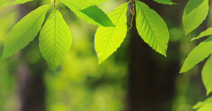 Beautiful spring leaves of the Royalty Free Stock Image