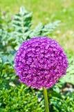 Beautiful spring lilac allium in garden Stock Photo