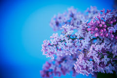 Beautiful spring lilac Royalty Free Stock Photo