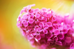 Beautiful spring lilac flowers, outdoors Royalty Free Stock Photo