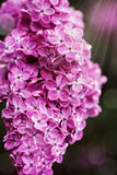 Beautiful spring lilac flowers, outdoors, Royalty Free Stock Photos