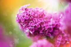 Beautiful spring lilac flowers,  selective focus Stock Image