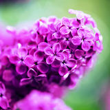 Beautiful spring lilac flowers,  selective focus Stock Photography