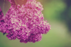 Beautiful spring lilac flowers,  selective focus Royalty Free Stock Images