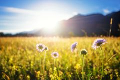 Beautiful spring meadow. Sunny clear sky with sunlight in mountains. Colorful field full of flowers. Grainau, Germany