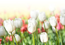 Beautiful spring meadow with tulips. Summer flowers Royalty Free Stock Photos
