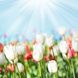Beautiful spring meadow with tulips. Summer flowers with blue sk Stock Photos