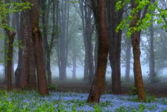 Beautiful spring morning,blue flowers,amazing light. Beautiful foggy morning in Lithuania,city Siauliai . Very nice blue flowers,green trees,mysterious light Stock Photography