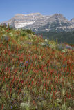 Beautiful spring mountain valley flowers snowy mountain peak Royalty Free Stock Photography