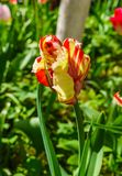 Beautiful spring , multi-colored tulips planted in the city park stock photo