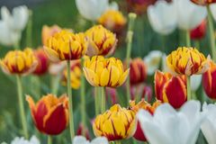 Multi-colored tulips planted stock images