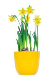 Beautiful Spring Narcissus Flowers Stock Images