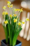 Beautiful spring narcissus flowers in pot Royalty Free Stock Images