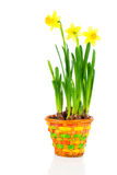 Beautiful spring narcissus flowers in pot Stock Images