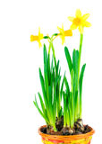 Beautiful spring narcissus flowers in pot Stock Photo