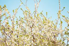 Beautiful Spring Nature background of plum garden. Beautiful Spring Nature background. Blooming time of garden trees. Rustic Landscape with white plum tree Royalty Free Stock Image