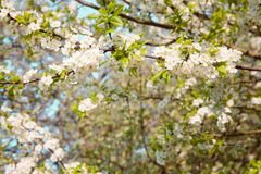 Beautiful Spring Nature blossom background. Blooming time of Orchard trees. Spring flowers. Rustic Landscape with white plum tree flowers in sunny day Stock Image