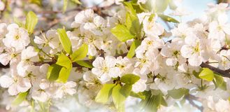 Beautiful Spring Nature blossom background. Blooming time of Orchard trees. Spring flowers. Rustic Landscape with white plum tree flowers in sunny day Royalty Free Stock Photography