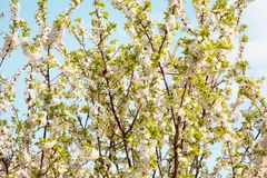 Beautiful Spring Nature blossom background. Blooming time of Orchard trees. Spring flowers. Rustic Landscape with white plum tree flowers in sunny day Royalty Free Stock Image
