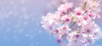 Beautiful spring nature scene with pink blooming cherry tree. Background royalty free stock photos