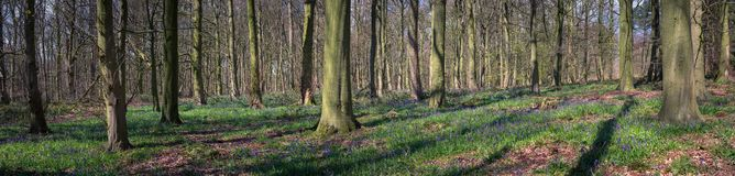 Beautiful spring panorama in a woodland forest with Bluebellos. Beautiful spring panorama in a North Yorkshire woodland, with bluebells and fallen autumn foliage stock photo
