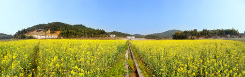 Beautiful spring panoramic  landscape shot with blooming canola Royalty Free Stock Photo