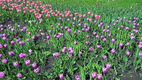 Beautiful spring park covered by fresh flowers pink and purple tulips. Full hd video, 1080p, Panoramic view stock video